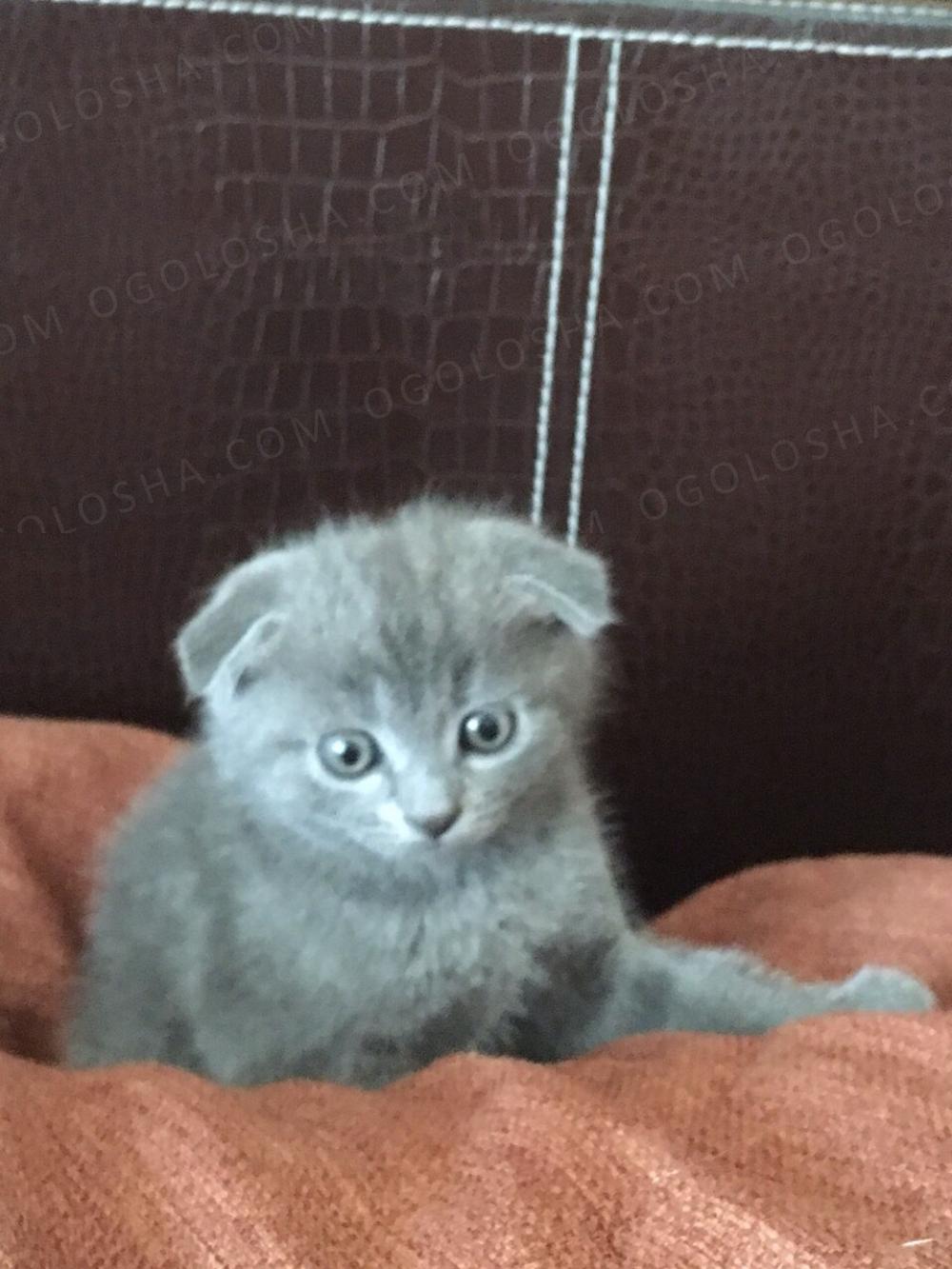 Продам котенка-шотландца