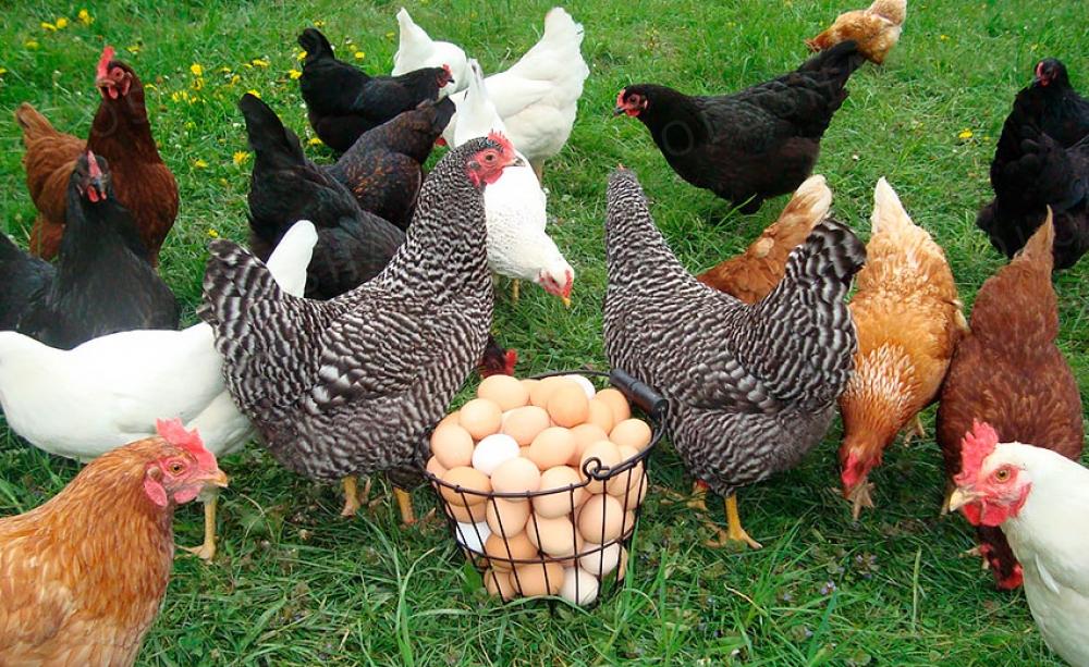Комбикорм для кур-несушек в наличии
