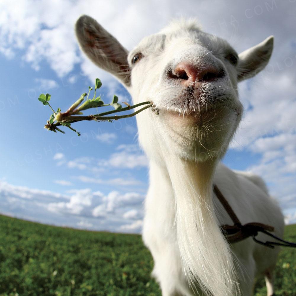 Отдам козу в хорошие руки