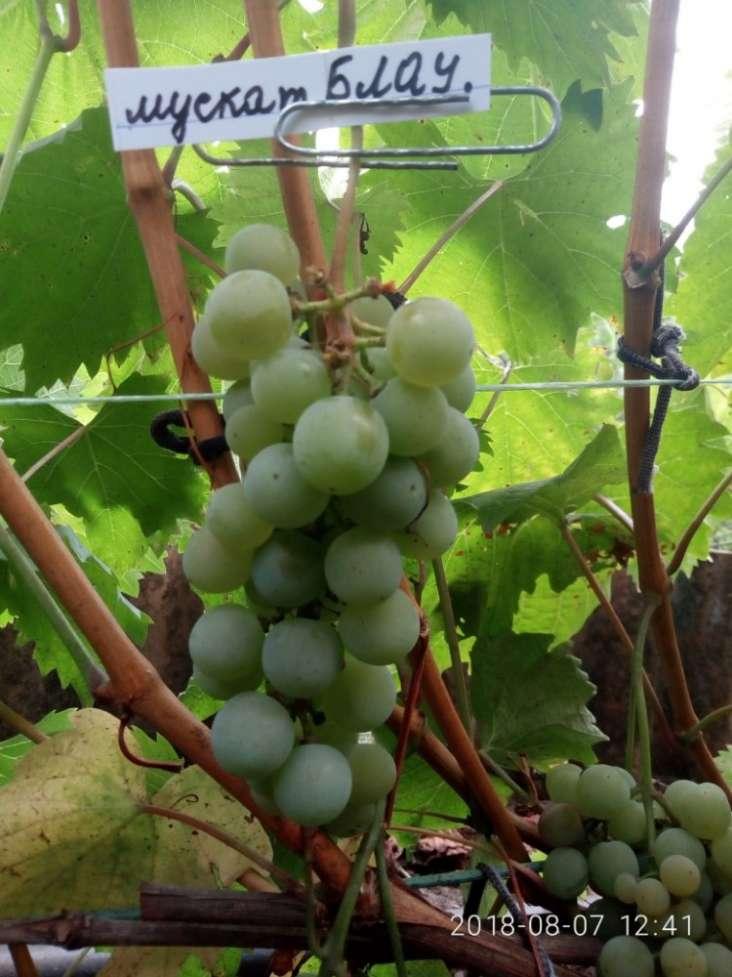 Саженцы винограда, черенки