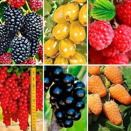 Купить ягодные саженцы. Купить саженцы плодово-ягодных культур