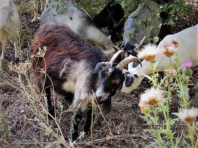 Продам дойную козу