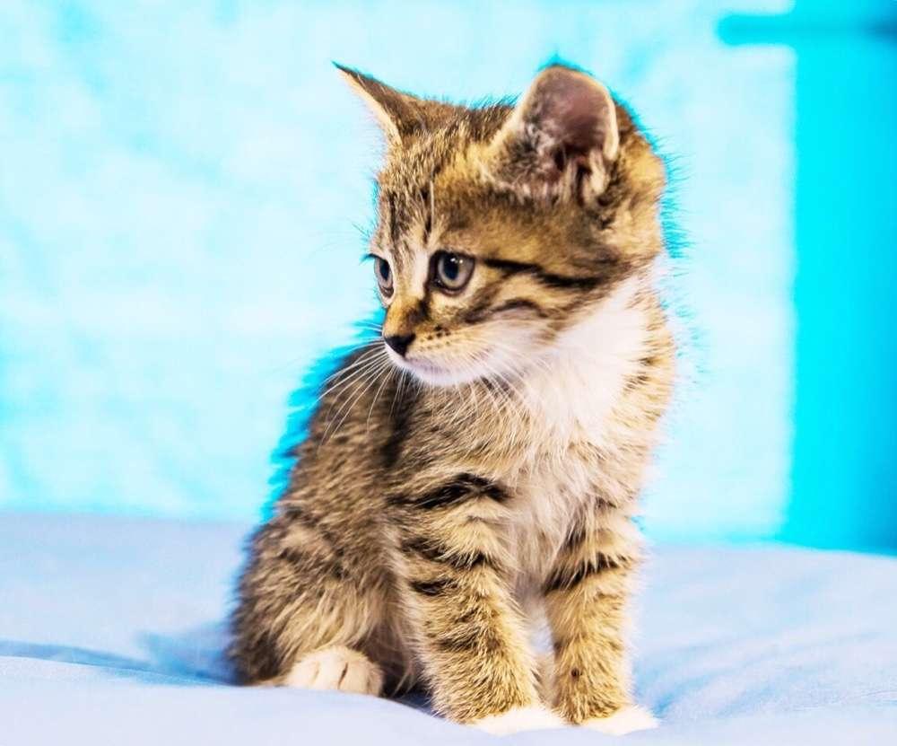 Полосатый котёнок Крох, 2 месяца