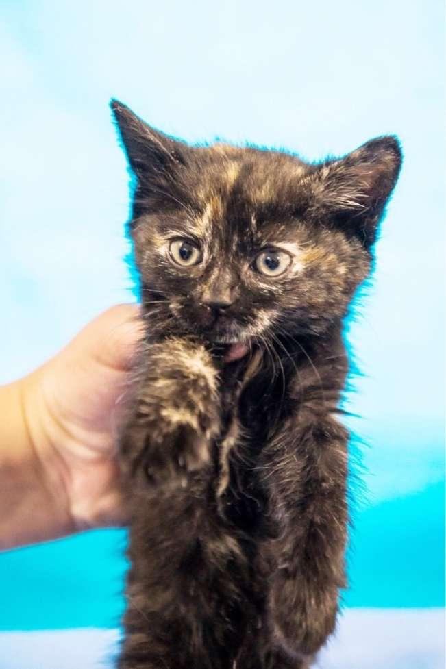 Котёнок Ириска, разноцветная девочка, 2 месяца