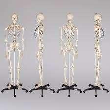 Макет человеческого скелета на колесиках