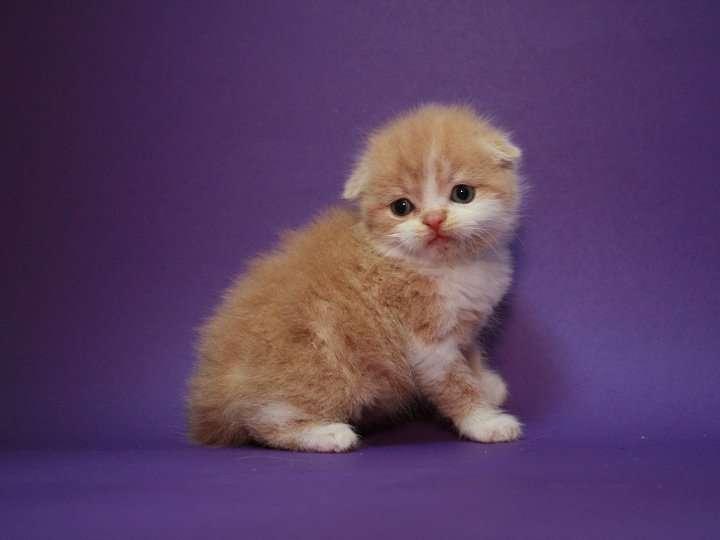 Вислоухий маленький красавчик