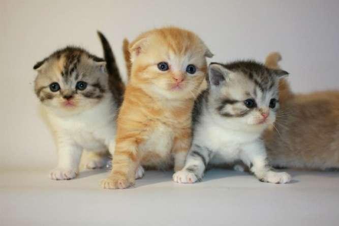 Шотландские котята страйт и фолд ,мальчики и девочки