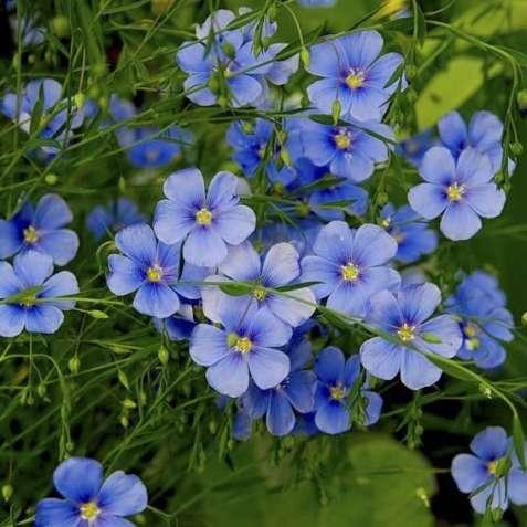Лен, цветы, рассада й