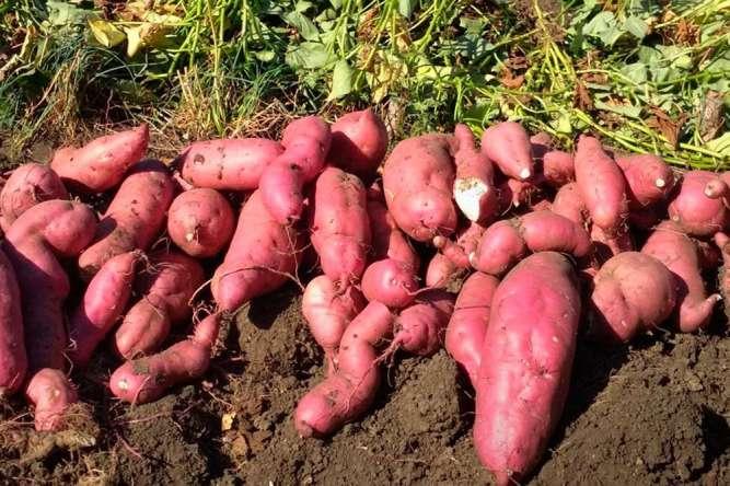 Батат Винницкий розовый клубни для еды и посадки дешево 89 грн