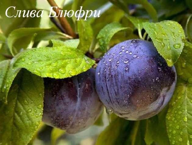 Саженцы сливы, алычи, сливово=вишневого гибрида