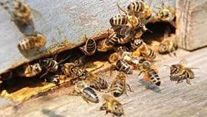 Пчелы продажа пчелопакеты