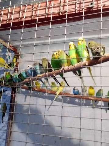 Продаю волнистых попугаев!