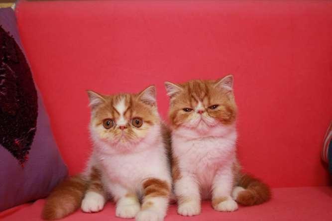 Экзотические короткошерстные \ экзот.Чистокровные. Предлагаем котят.