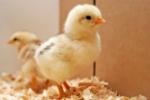 Курчата кормові, курчата добові заморожені на корм