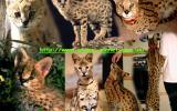 Ручные сервалы – домашние мини леопарды– элитные дикие кошки  title=