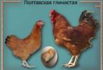 Куры Полтавской глинистой, яйцо инкубационное, цыплята