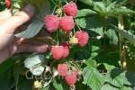 Кусты высокоурожайной малины