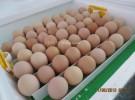 яйцо инкубационное от разных пород кур