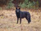 Черные канадские волчата, волк
