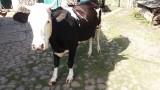 Продається молода корова з одним телям дійна title=