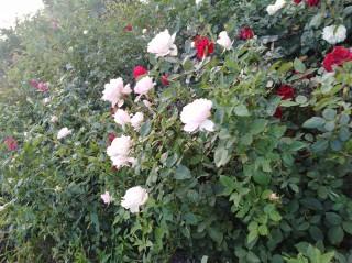 Продам розы различных сортов title=