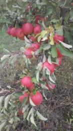 Продам яблоки собственного производства, урожай 2017 года title=