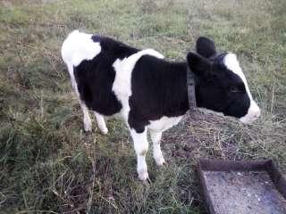 Продам теленка с полтавской области на корову title=