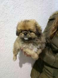 Продам щенка Пекинеса title=