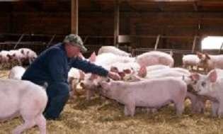 Разнорабочий на ферму свиней title=