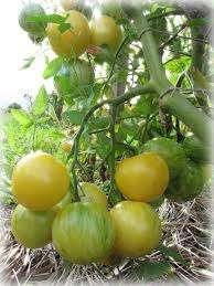 Продам семена томатов зебра белая title=