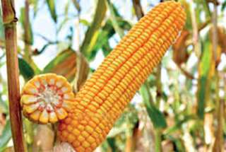 семена кукурузы РАМ 1033, 1333, 8143, 8153,8663, 6475 title=
