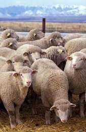 Продаються кітні вівці і кози title=