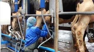 Доярка корів на ферму в Польщу title=