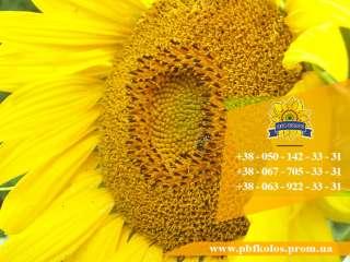 Якісне насіння соняшника Чародій від виробника title=