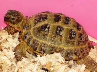 сухопутная среднеазиатская черепаха title=