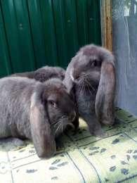 Кролики Французский баран (  голубой и голубой плащ) title=