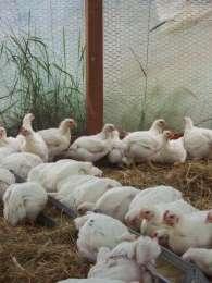 Инкубационное яйцо. Инкубационные яйца кур бройлеров.