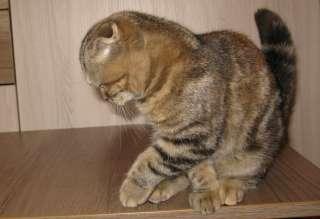 Шотландские котята title=