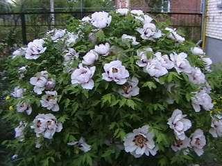 Декоративні рослини (квіти, кущі, дерева) title=