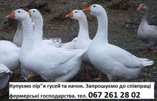 Принимаем перо уток гусей качок свіже пір'я