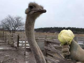Продажа южноафриканских страусов title=