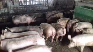 Продам свиней живою вагою title=