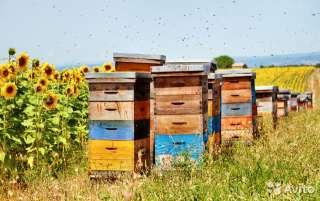 Продам пчелосемьи title=