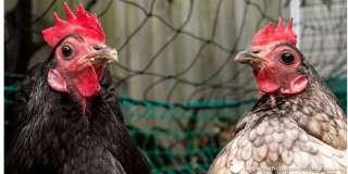 цыплята, яйца title=