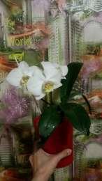 Орхидея (фаленопсис) title=