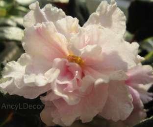 Фиалки сортовые, детка ЛЕ-Сашенька - розово-желто-зеленые цветы