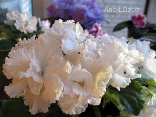 Фиалки сортовые, детка Свадебный Букет - огромные белоснежные цветы