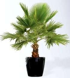 Семена веерной пальмы + инструкция