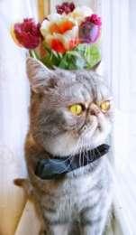 Кот Экзот короткошерстный ищет кошечку на вязку