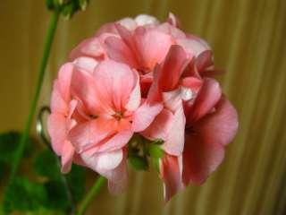 Пеларгония розовая, укорененные черенки title=